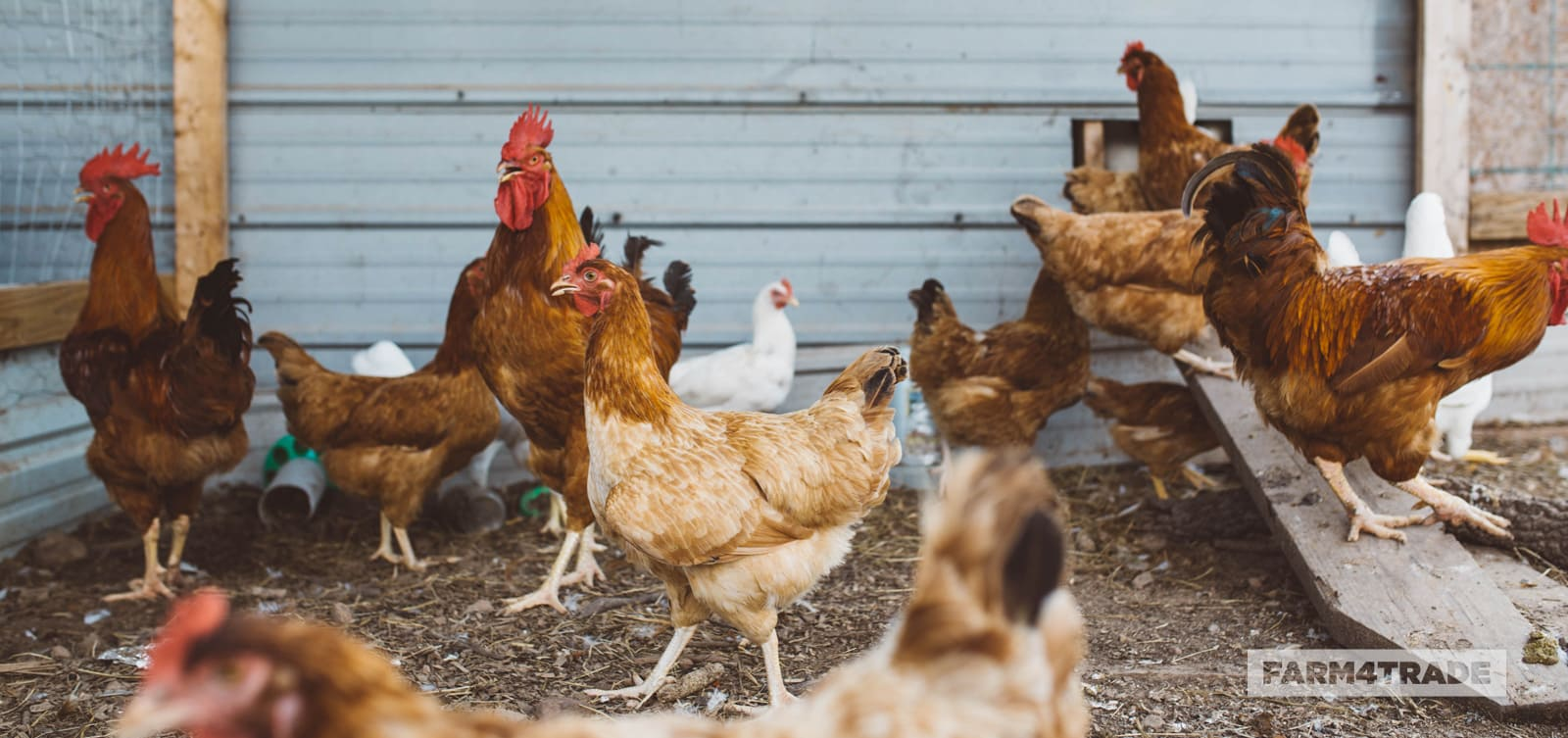 Farm4Trade-poultry-Farming-an-easy-and-remunerative-choice