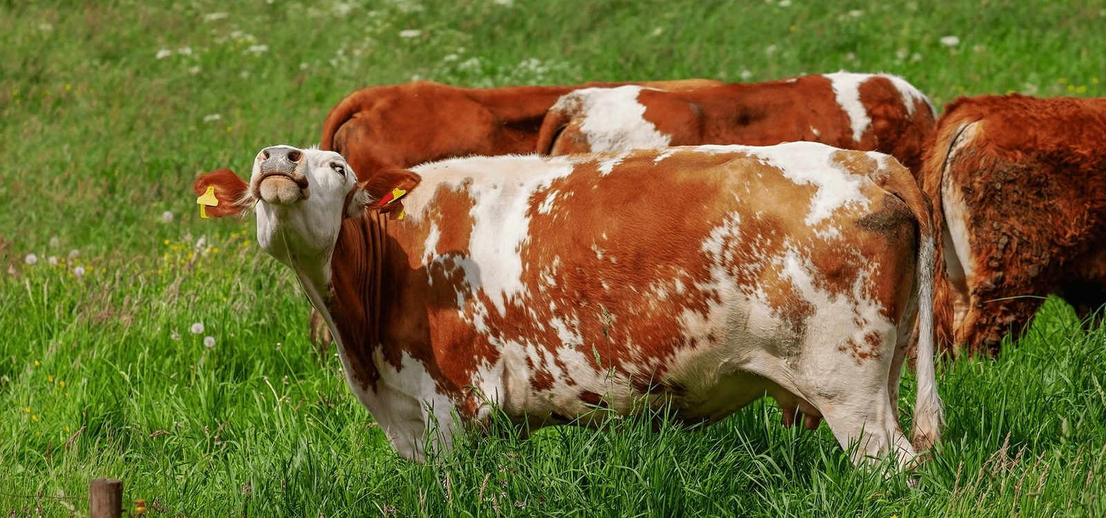 Bloat_in_cattle_practices_to_prevent_the_disease