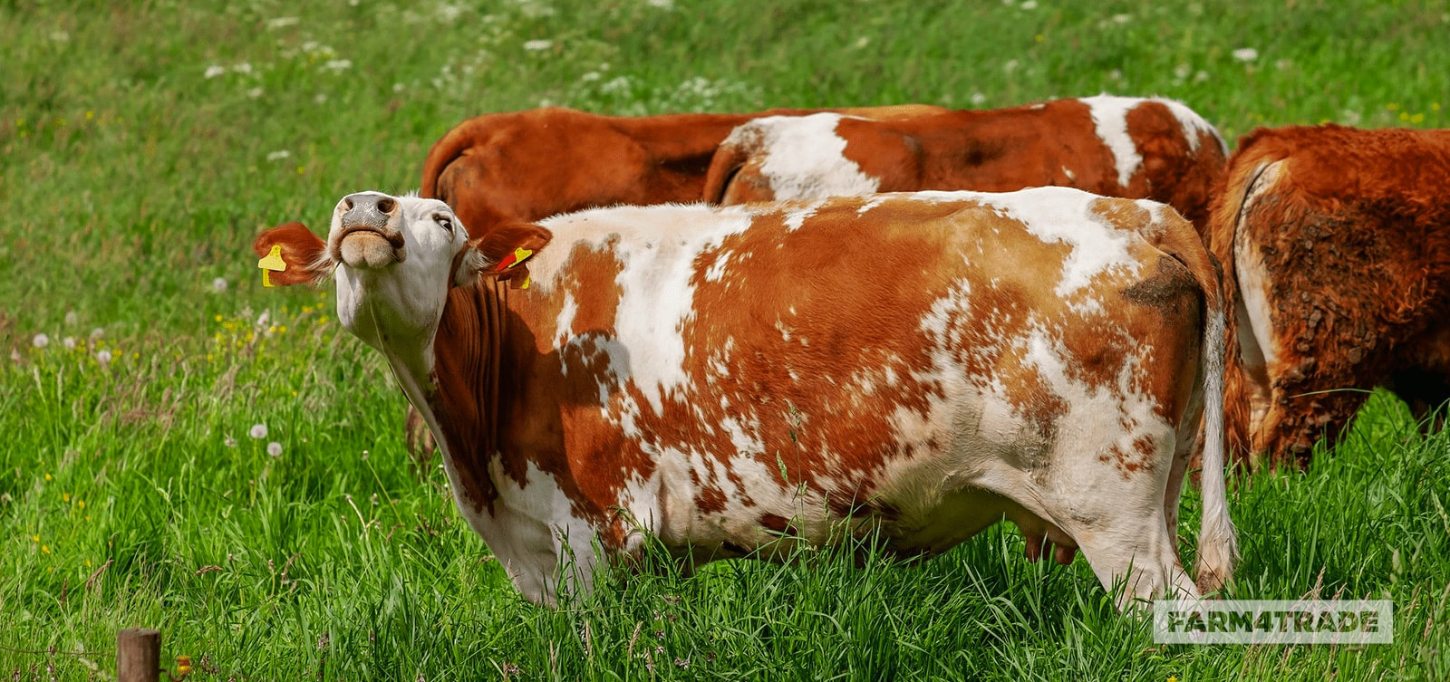 Bloat in cattle common practices to reduce and prevent the disease-Farm4Trade