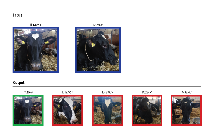 Contactless-biometric-recognition-system-of-individual-cattle