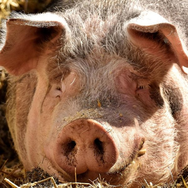 Raising-pigs_a-pig-farming-guide-for-beginners-Farm4Trade