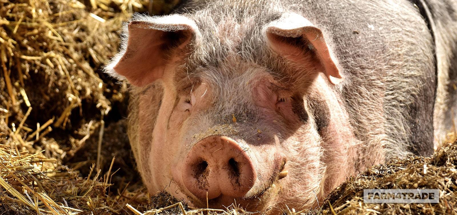 Raising-pigs_a-pig-farming-guide-for-beginners-Farm4Trade