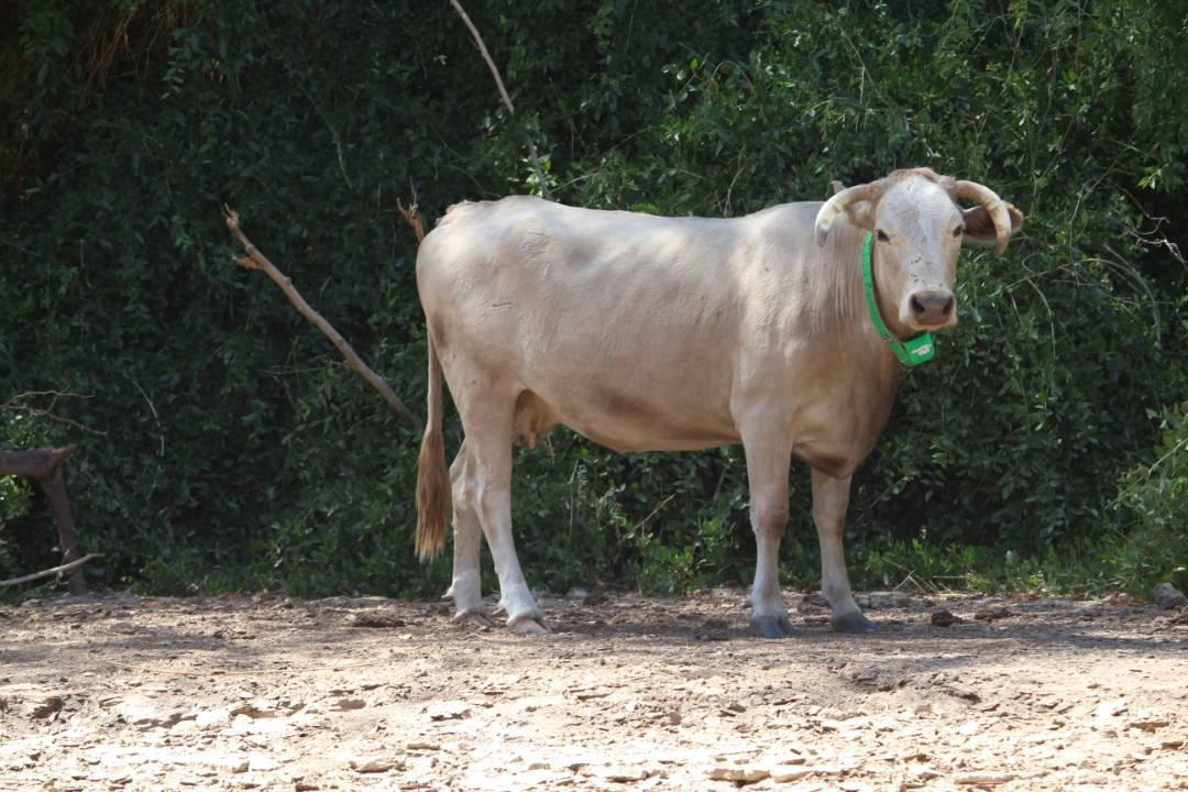the use of telemetry in livestock farming