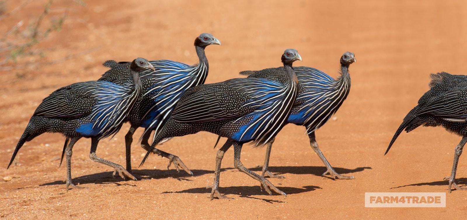 Farm4Trade-vulturine-Guinea-fowls
