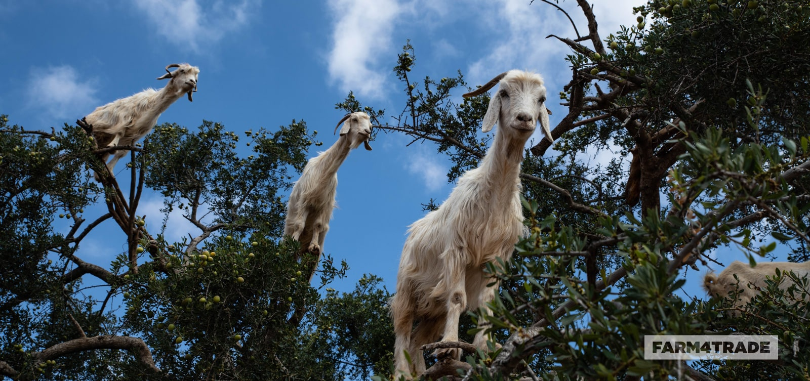 Fun facts about goats grazing habits-Farm4Trade