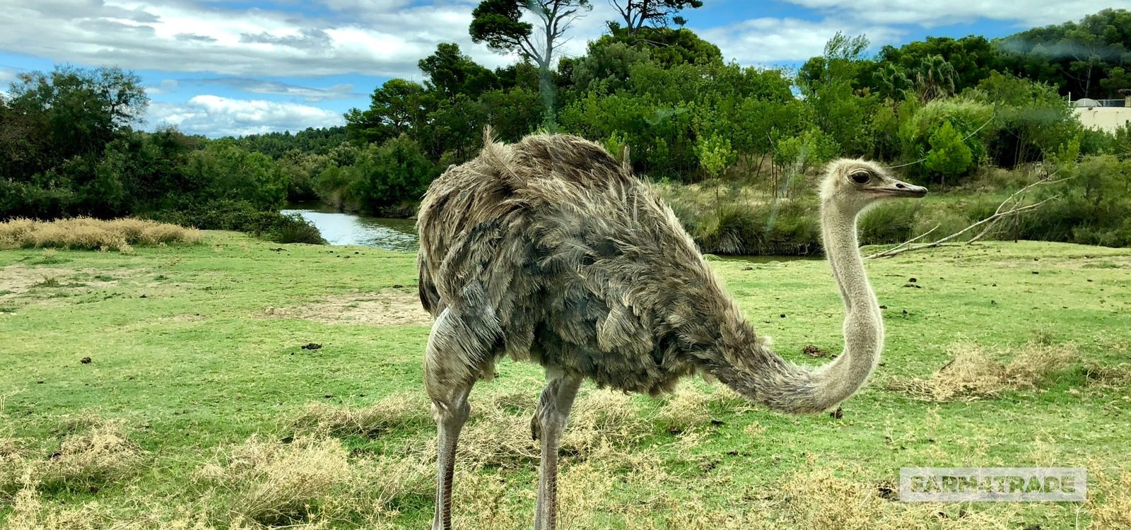 Ostrich farming a high profitable business - Farm4Trade
