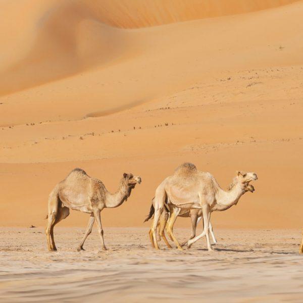 Farm4Trade_Camel_Production