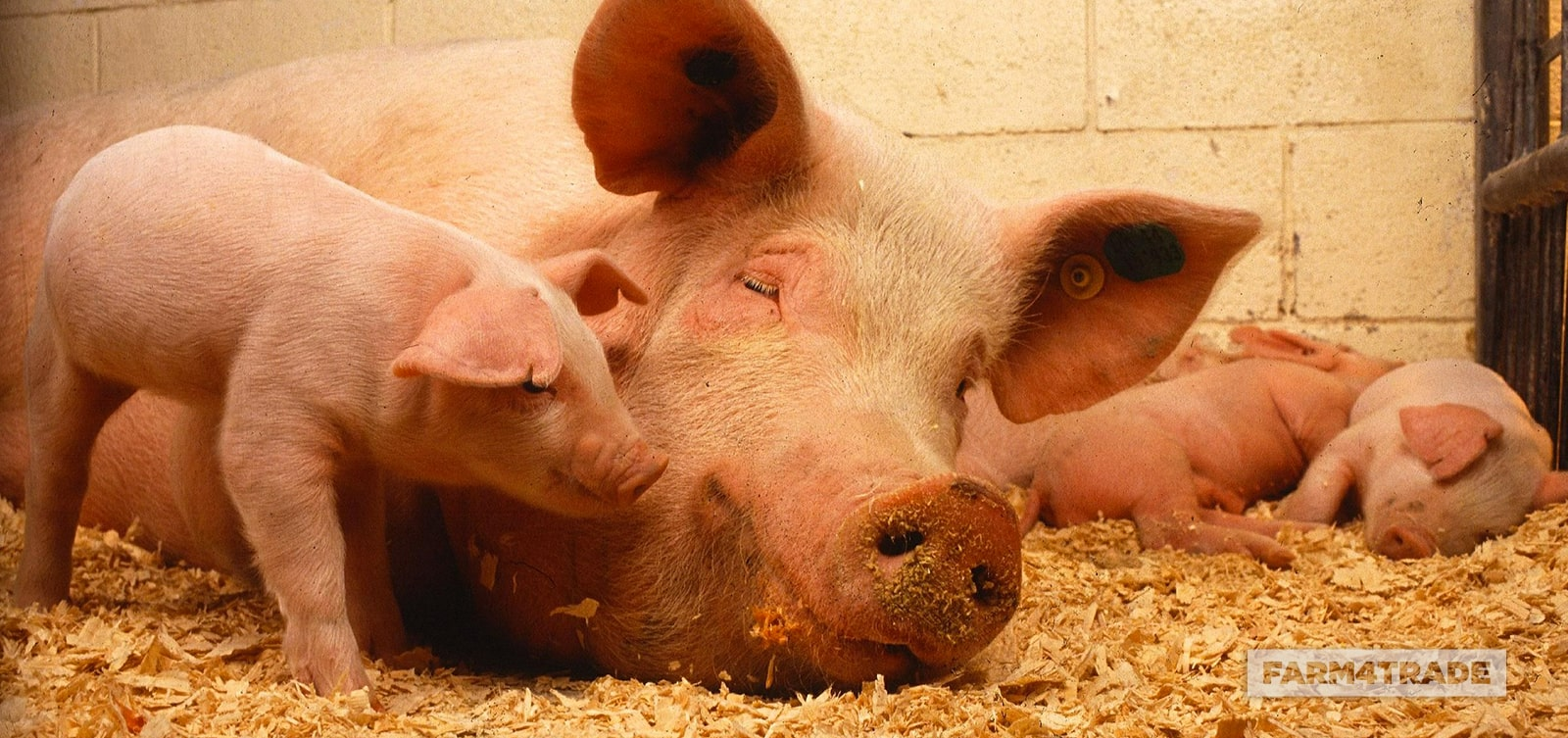 Farm4Trade-Intensive pig farming