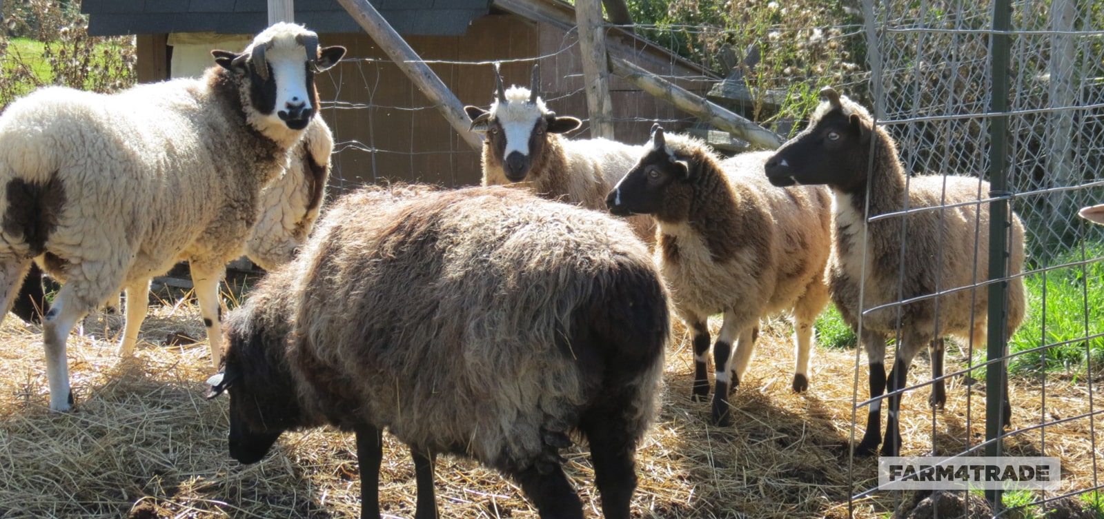 Farm4Trade-Karakul sheep and its association with the fashion industry