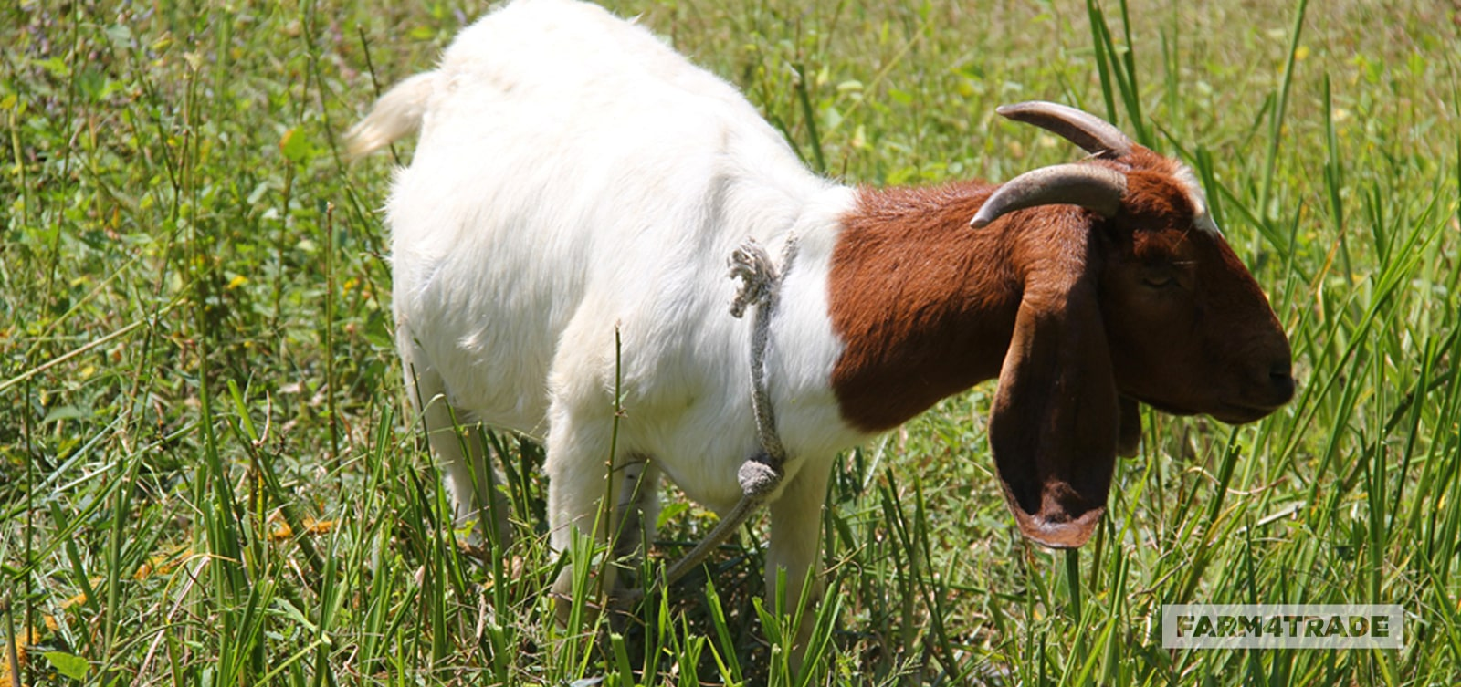 Farm4Trade-Show Boer Goat_Tips on what to look for during selection