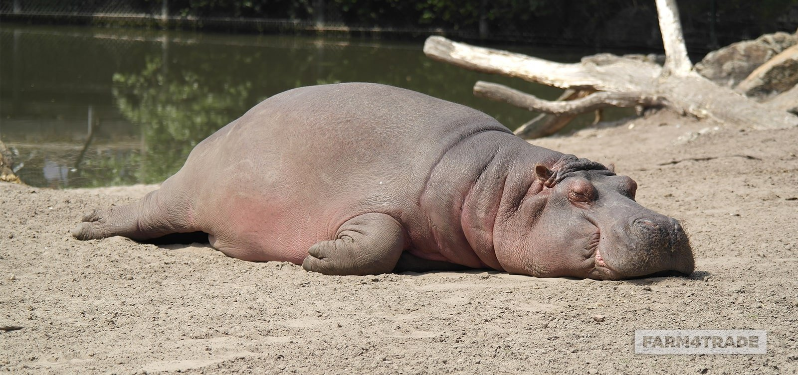 Farm4Trade-The effects of drought on the hippopotamus