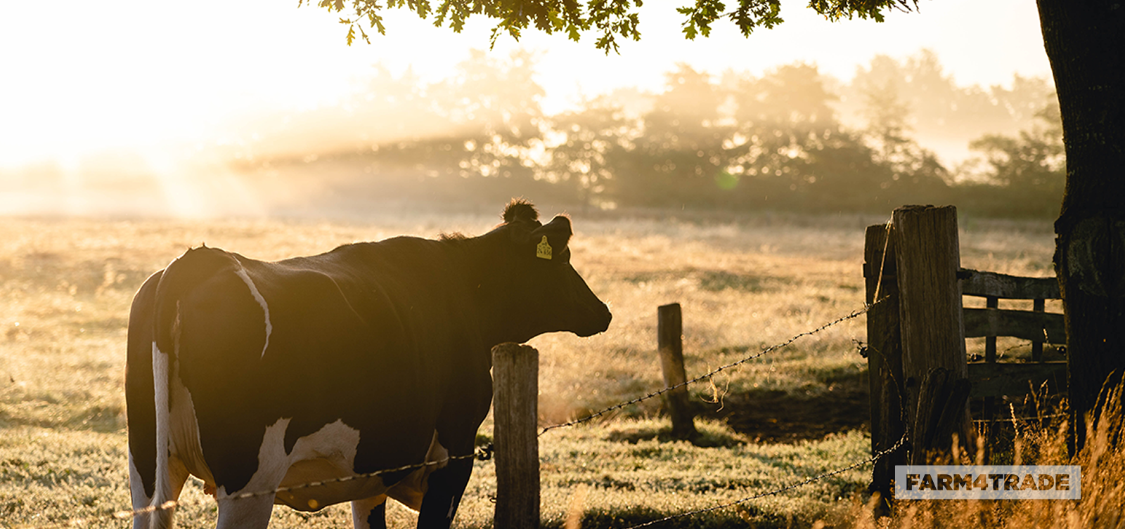 The prevalence of Mastitis in Cattle dairy herd