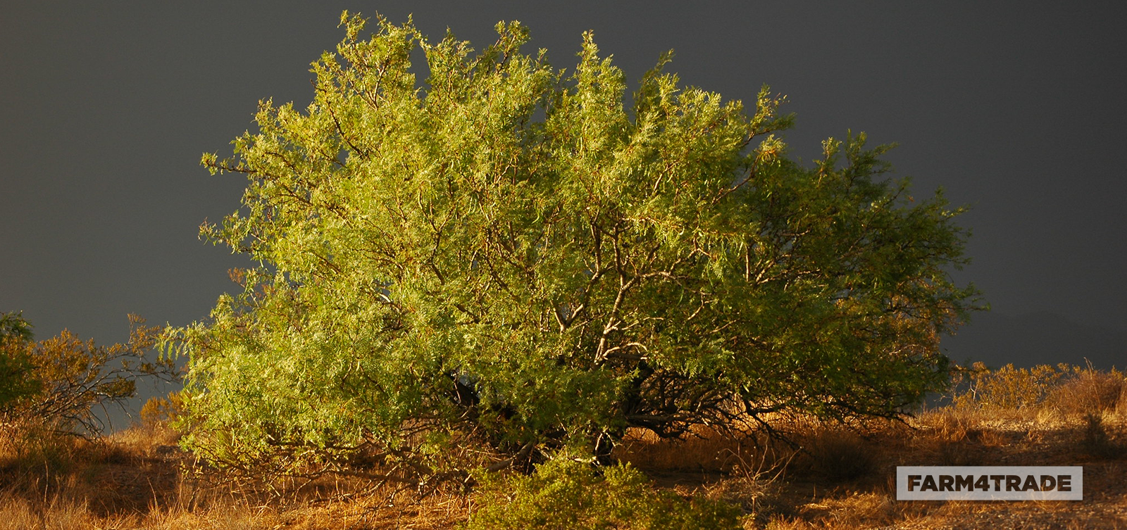 A conflict in existence of the invasive tree species Prosopis glandulosa - Blog Farm4Trade