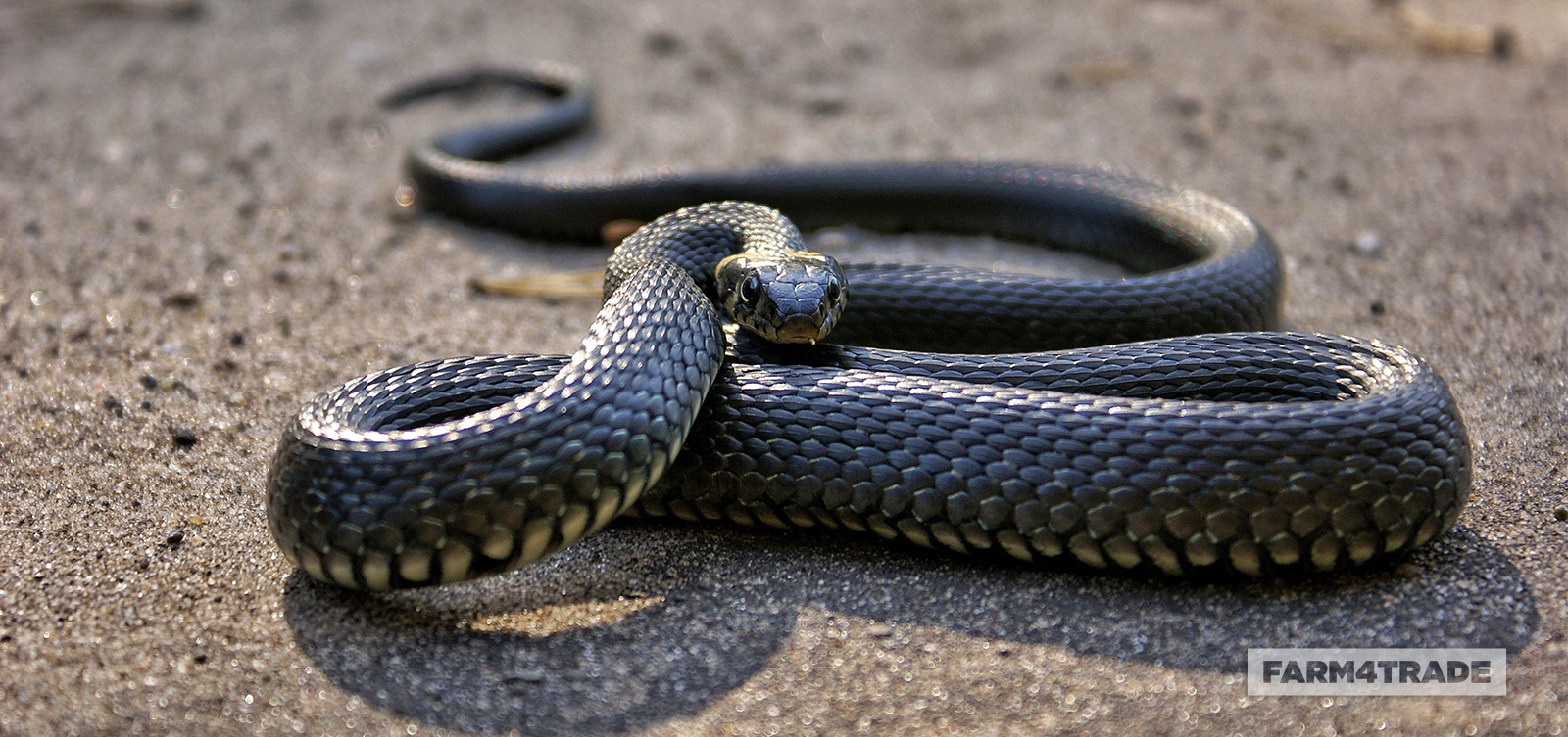 The side effects of fighting snakes - Blog Farm4Trade