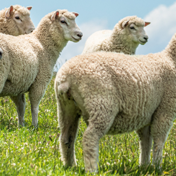 Liver fluke prevalence in sheep - Blog Farm4Trade