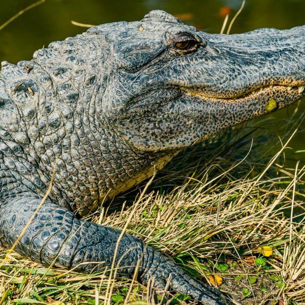 Crocodile farming- an alternative and lucrative business-Farm4Trade